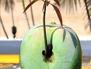 Rafael Leger, presidente del Cluster del Mango,  explica que es algo normal, pero no muy corriente