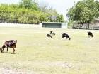 El estadio Duvalito Féliz, de la comunidad de Uvilla, es invadido por chivos. En la actualidad el terreno luce desnivelado y sin luz.