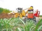 La zafra azucarera de este año garantiza el suministro del mercado local.